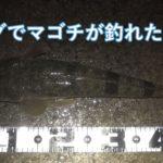 ナイトゲームでのジギングで冬のマゴチ51cmをGET!|福井・越前海岸の釣果報告&マゴチの生態まとめ